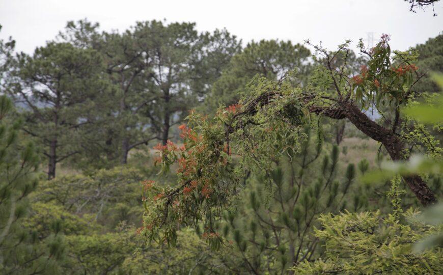 Se aplica saneamiento forestal en el Bosque de La Primavera